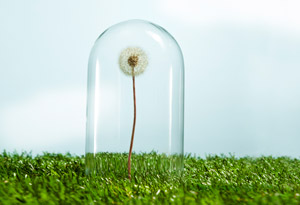 201211-omag-sensitive-dandelion-300x205